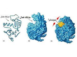 آنزیم و نحوه عمل