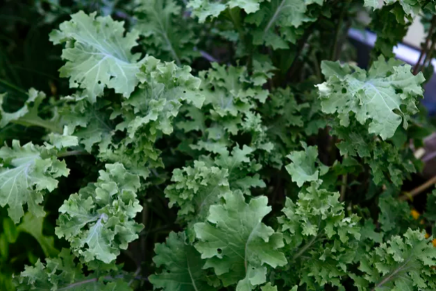 چه سبزیجات برگدار سبزی دارای مقادیر بالای از L-Lysine هستند؟