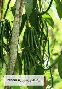 Vanilla planifolia گیاه وانیل