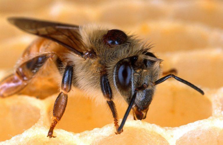راهنمای زنبورداران برای استفاده از اسید اگزالیک
